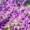 Happiness Through The Lavender Flower